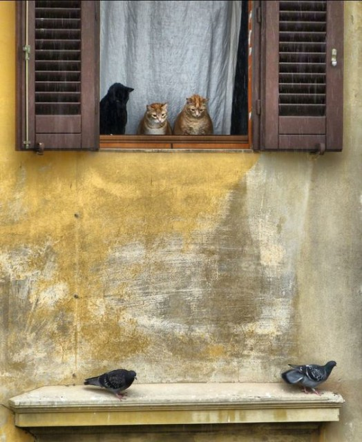 új galamb macs